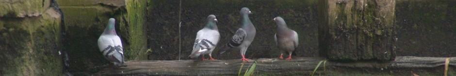 Pigeon-Aid UK